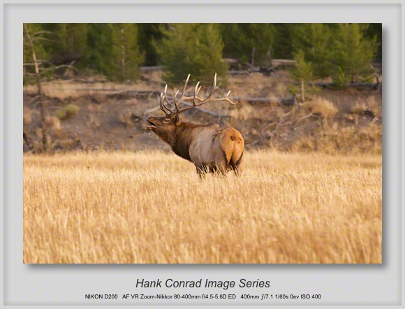 Bugling Elk in Yellowstone