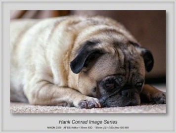 7 Image Story | Pug Quietly Waiting for Thanksgiving Dinner