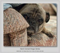 7 Image Story | Pug Hiding from Big Dogs