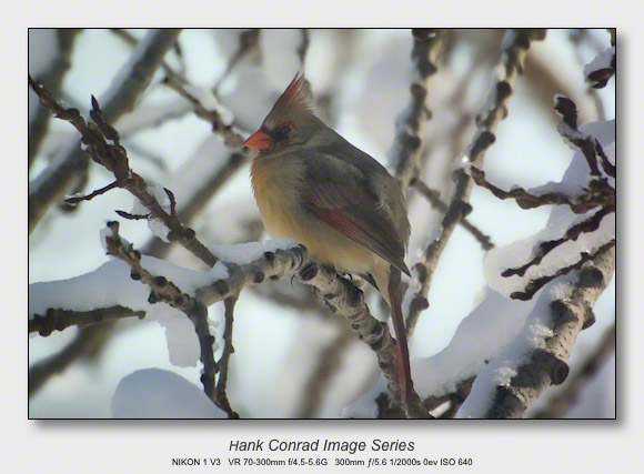 Winter Birds by Feeder | Female Northern Cardinal