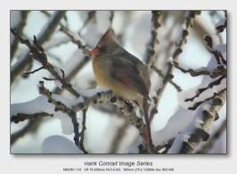 Winter Birds by Feeder | Female Northern Cardinal