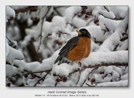 Winter Birds by Feeder | American Robin