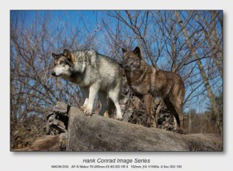 Wolf Park Wolves | Wolves Scouting
