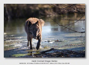 Wolf Park Wolves | Wolf Stalking