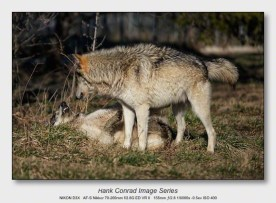 Wolf Park Wolves | Wolves Playing