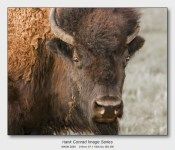 American Bison | a 7 Image Story