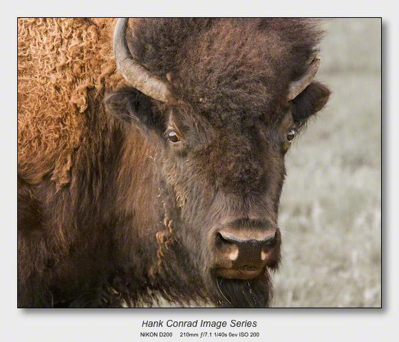 American Bison | Old Bison