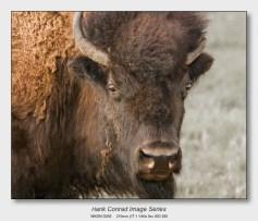 American Bison   Old Bison