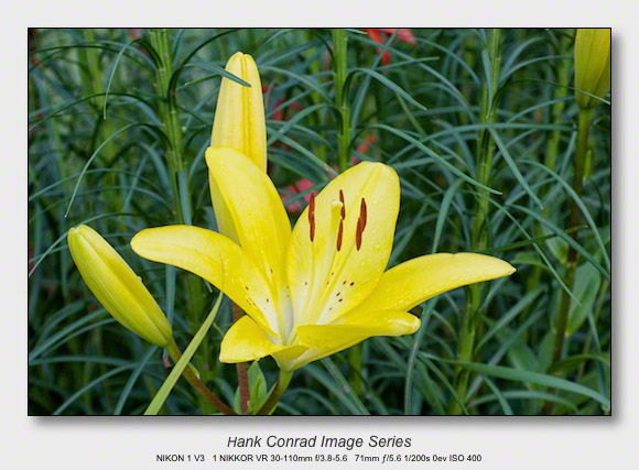 Summer Walkabout Flowers Yellow Day Lily Hank S Blog