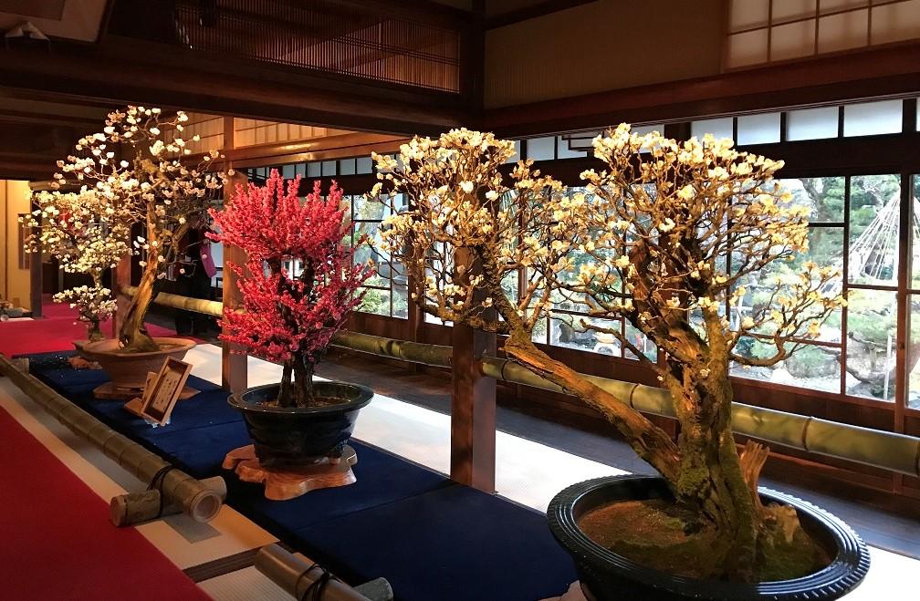 長浜盆梅展で庭園を背景に楽しめる紅白の盆梅