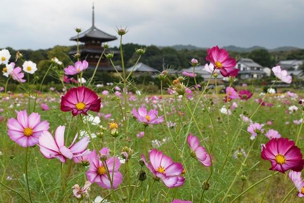 2015秋の奈良・法起寺の秋桜4