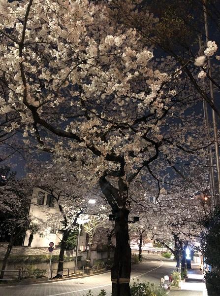 202103六本木・アークヒルズの桜坂と桜並木