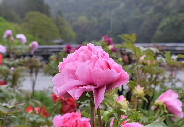 ★202104春の奈良一人旅。長谷寺で咲くボタン