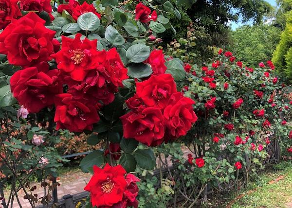 202105江東区・木場公園の都市緑化植物園に咲く赤いバラ