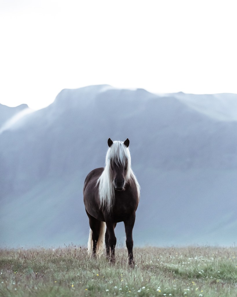 Icelandic horse at midnight sun