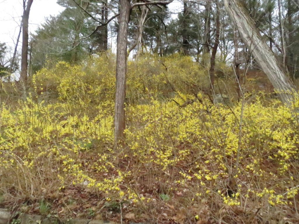 flock of forsythia