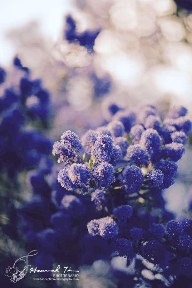 Ceanothus in bloom