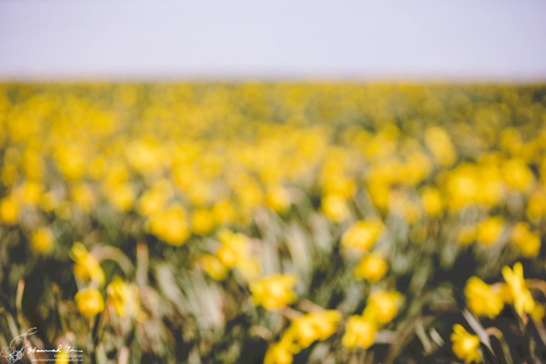 Daffodil fields Torpoint