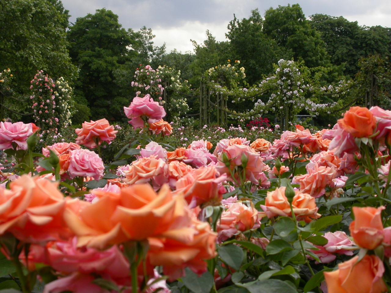 Rosen im Regent's Park
