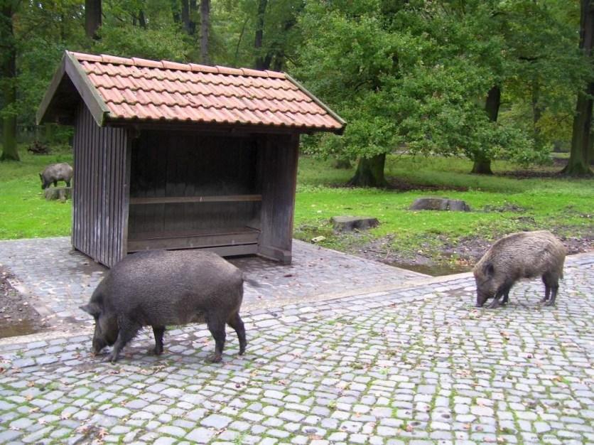 Wildschweine im Gehäge