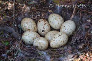 teeren munat kuoriutumassa, Suomussalmi
