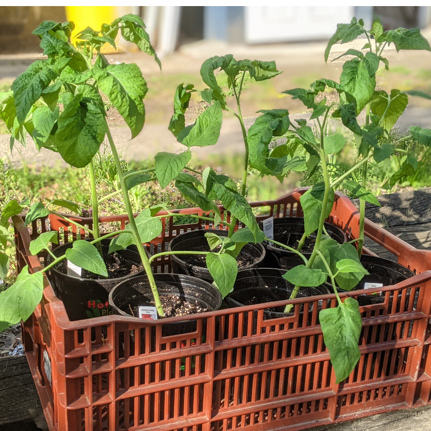photo: Brandywine tomato plants in a crate
