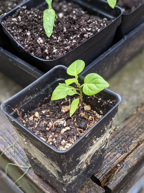 photo: little pepper seedling