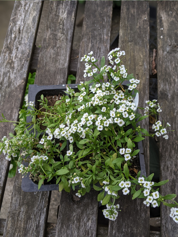 photo:plant with many small flowers