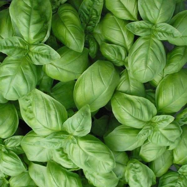 photo: basil leaves