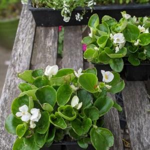 photo: white begoniaas on table
