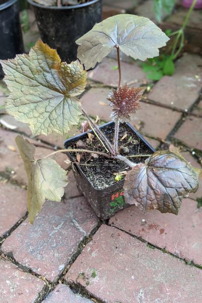 photo: potted plant with reddish foliage
