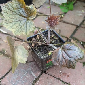 photo: potted plant with reddish foliage