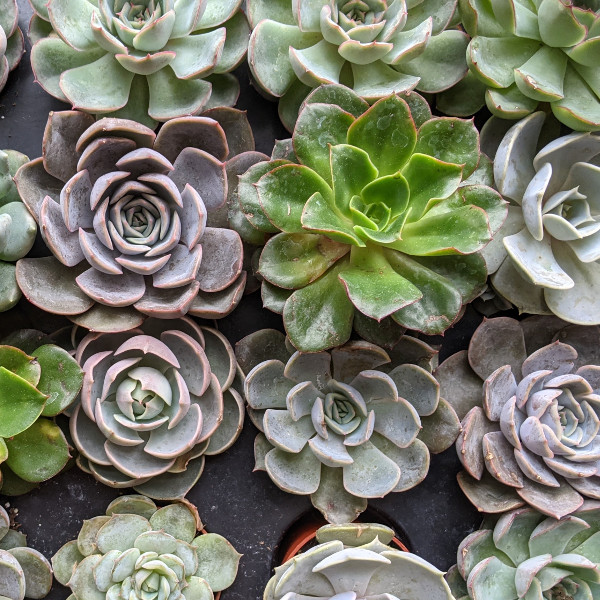 photo: evheveria succulents, various colors