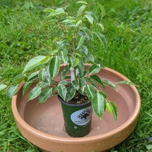 photo: potted ficus tree