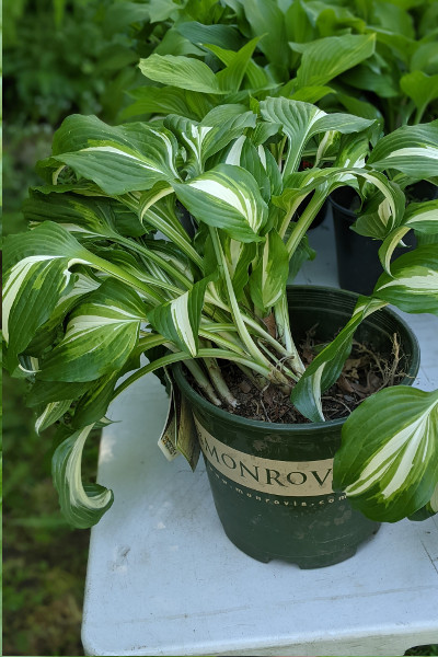 poto: plant with large variegated leaves