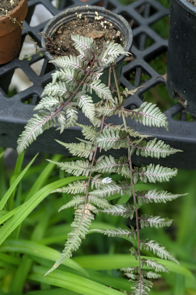 photo: colorful fern in pot