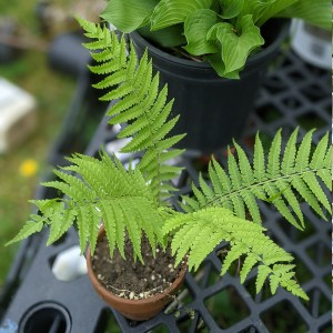 photo: fern in pot