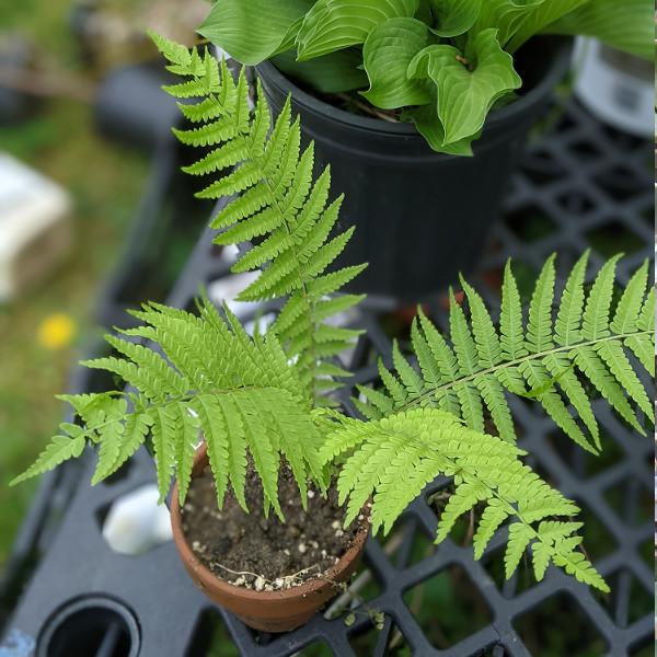 photo: fern in pot