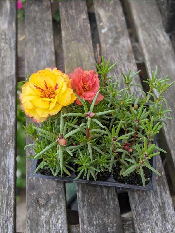 photo: plant with multicolored flowers on table