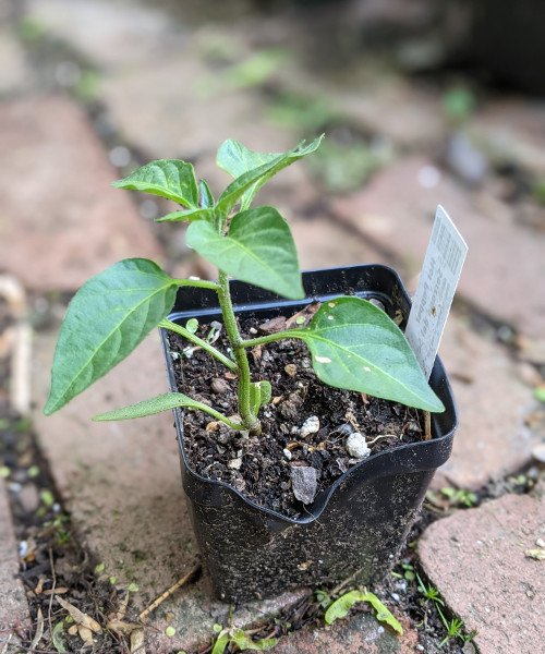 photo: serrano pepper in pot