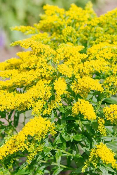 photo: goldenrod flower