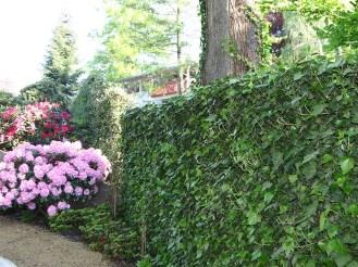 Die mobile Hecke mit ihrem immergrünen Efeu (Hedera woernei ) passt sehr gut zu diesem Parkgarten.