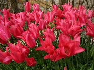 Insgesamt 3500 Blumenzwiebeln haben wir im Herbst im ganzen Grundstück gesteckt. Flächige Blütenmeere zum Beispiel mit der lilienblütige Tulpe `Mariette`belohnen diese Arbeit.