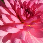 Pink Dahlia | Hansen-Spear Funeral Home - Quincy, Illinois