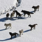 Wolf Pack | Hansen-Spear Funeral Home - Quincy, Illinois