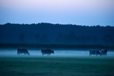 Sint Nicolaasga. Koeien in de avondmist in polder de Noedweg. Nikon D3 • ISO 3200 • f/4.8 • 1/5 @ 70mm. © Fotografie George Burggraaff.