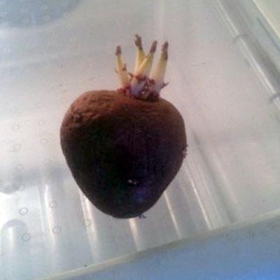 Sacred Heart Potato