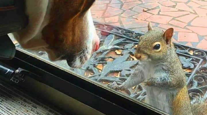 squirrel taps window every