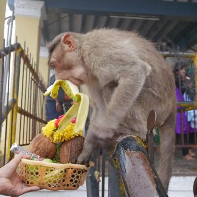 monkey stealing banana
