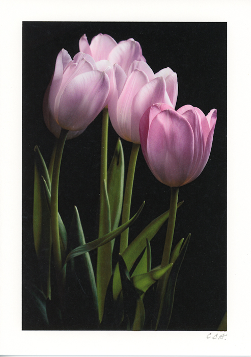 Pink Tulips